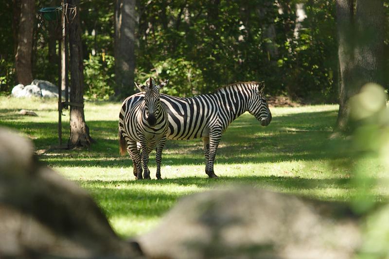 Zebras-0001-after.jpg