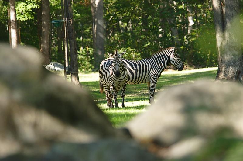 Zebras-0002-after.jpg