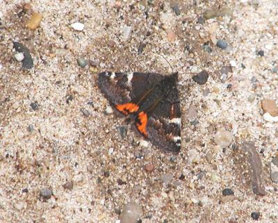 The Infant Moth (Archiearis infans)