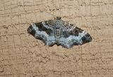 White-banded Toothed Carpet (Epirrhoe alternata)
