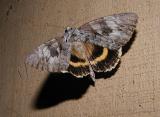 Yellow-banded Underwing (Catocala cerogama)