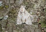 Ochre Dagger Moth (Acronicta morula)