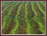 Green furrows, St léger de rôtes