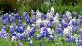 White Bluebonnets