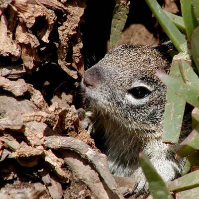 San Diego Squirrels