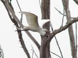 Egret in flight at rookery