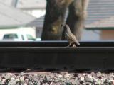 Rail quail