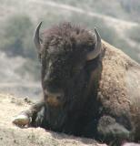 Friendly-looking buffalo