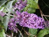 Purple Buddleia,  (Buddleja davidii)