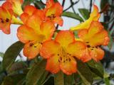Golden Rhododendron