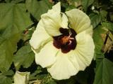 Rock's Kauai Hibiscus