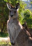 Eastern grey kangaroo backlit at Geehi, Victoria