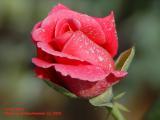 Lovely Rose - GoldenHammer