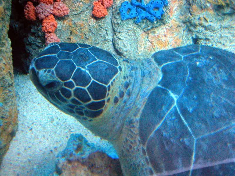 Green sea turtle - closeup