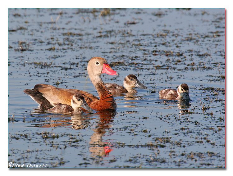 Whistling Duck & Chicks