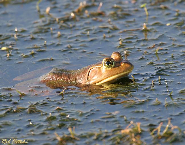 Vierra Frog
