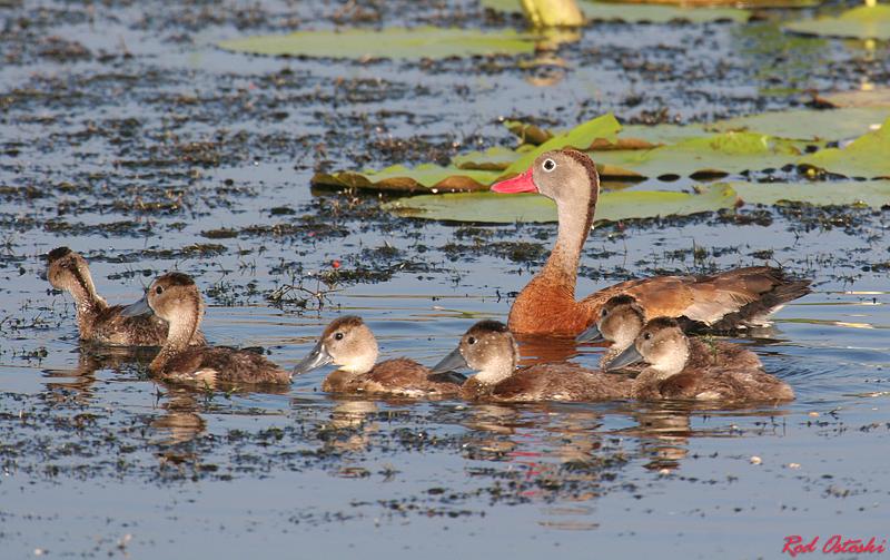 Black Bellied Whistling Duck & Chicks