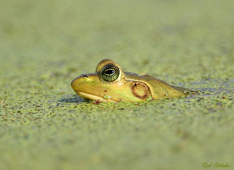 Frog at Viera