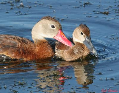 Black Bellied Whistling Duck & Chick