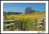 Blue Ridge Goldenrods 2