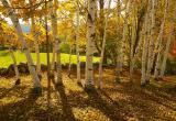Thru the Birches