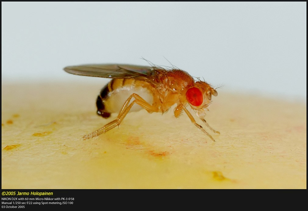 Drosophila_sp.jpg