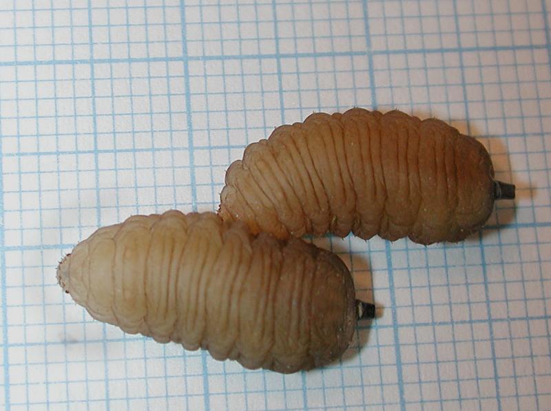 Volucella_larvae.jpg