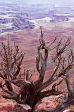Dead Tree, Green River Overlook, Dead Horse Point State Park