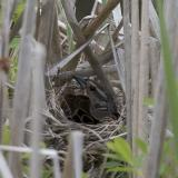 2005-05-28: Red-Wing Blackbird Nesting