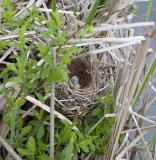 2005-05-31~ Nest with Eggs