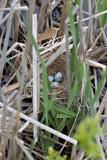 Red-Wing Blackbird Nest