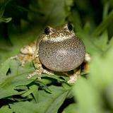 2005-06-11: Gray Tree Frog Trilling