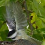 2005-09-07~ Chickadee