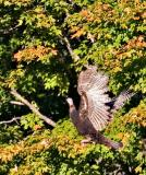 2005-10-07~ Turkeys Can Fly