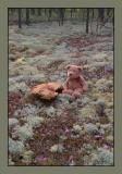 Siberian mushroom and international bear