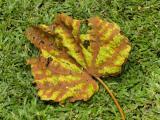 PA014656 Leaf.jpg