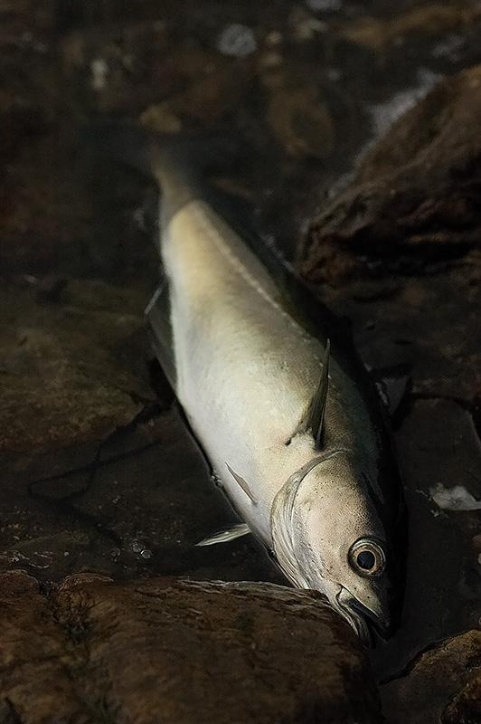Crail Fish.