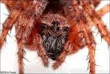 Barn Spider (Araneus cavaticus)