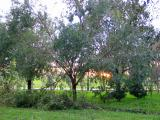 Twenty Four Hours Later-Sunset Through the Oaks