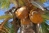 Mauritius - Coconuts