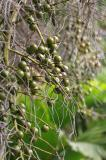 Mauritius - Fruits (Pamplemousses Garden)