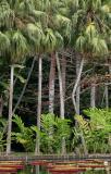 Mauritius - Pond View (Pamplemousses Garden)