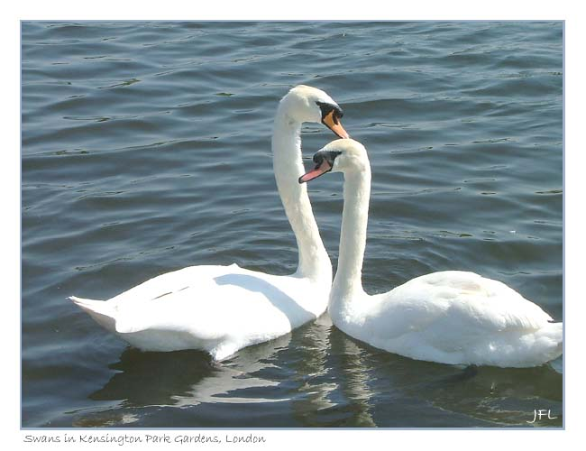 Swans, Kensington Park Gardens