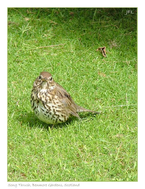 Song Thrush, Benmore, Scotland