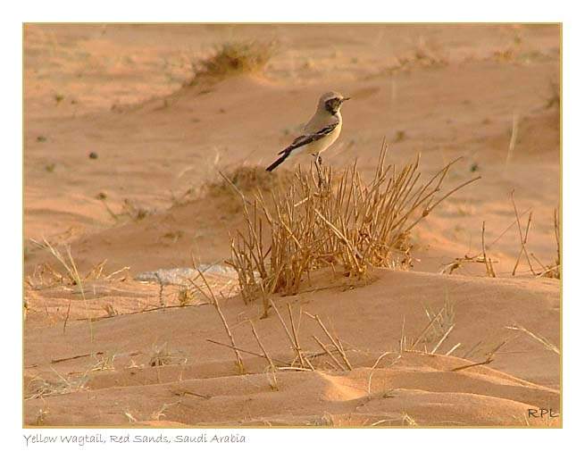 Wagtail, Red Sands, Saudi Arabia