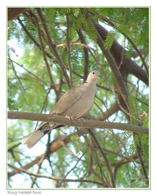Ring Necked Dove - August 29th