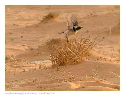 Wagtail Take Off, Red Sands, Saudi Arabia