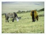 Bodmin Ponies