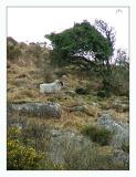 Another Bodmin Sheep