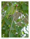 Parakeet Breakfast, Bahrain